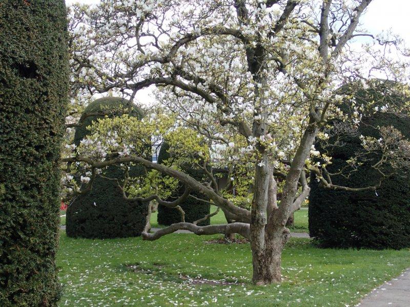 Magnolienblüte, Wilhelma Stuttgart (April 2016) | Foto: Heike Sichting