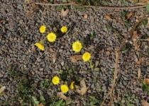 Huflattich Anfang März | Foto: Heike Sichting
