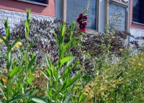 Blüten am Luststeg (Juni 2016) | Foto: Siegfried Adaschkiewitz