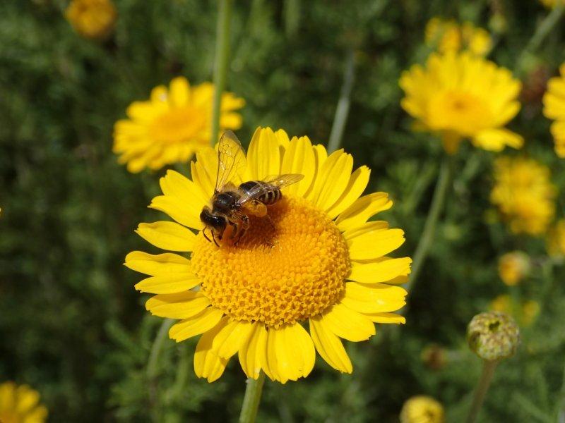Saat-Wucherblume mit Biene (2014) | Foto: Heike Sichting