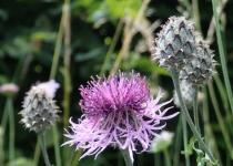Rispen-Flockenblume