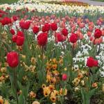Tulpenpracht auf der Wilhelma Stuttgart, April 2016 | Foto: Heike Sichting