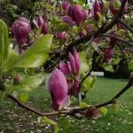 Magnolienblüte auf der Wilhelma Stuttgart, April 2016 | Foto: Heike Sichting